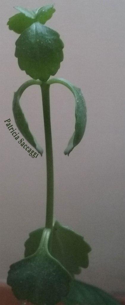 Plante danseuse